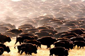 normal_buffalo herd 24x36 240dpi